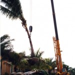 Specimen Tree Relocation